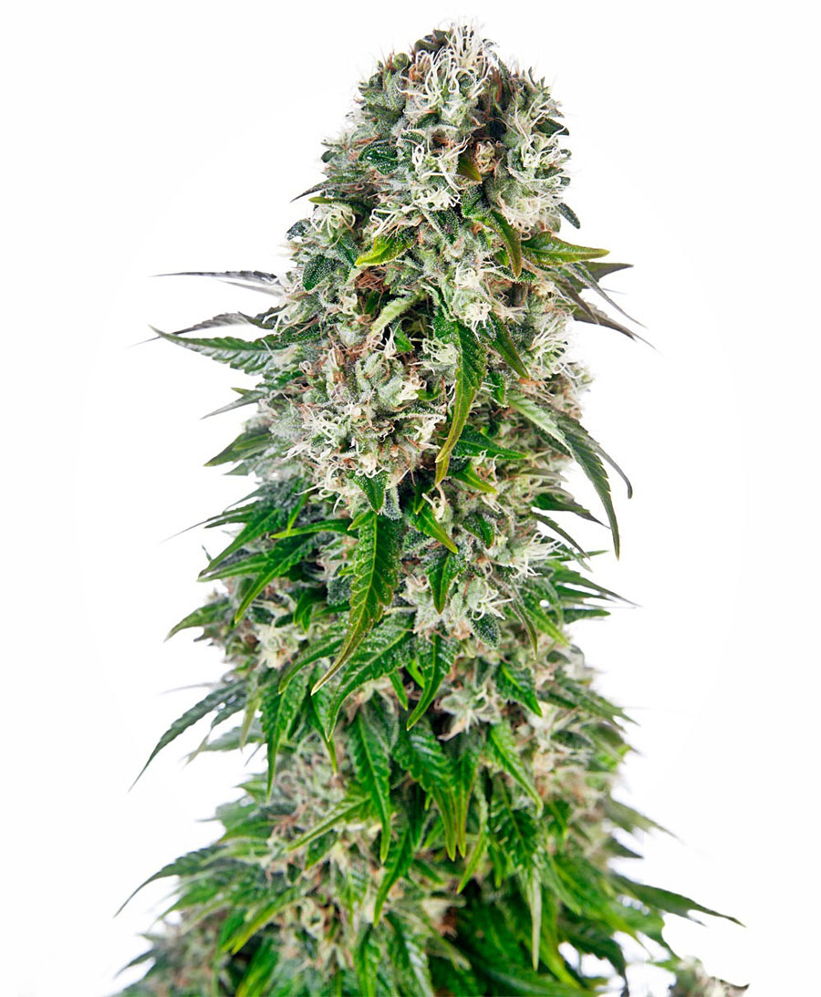 Buy Big Bud Automatic seeds online – Sensi Seeds UK