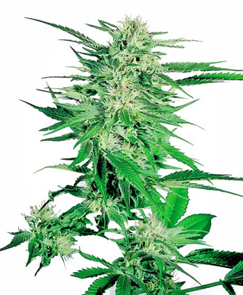 Buy Big Bud Feminized seeds here - Sensi Seeds UK