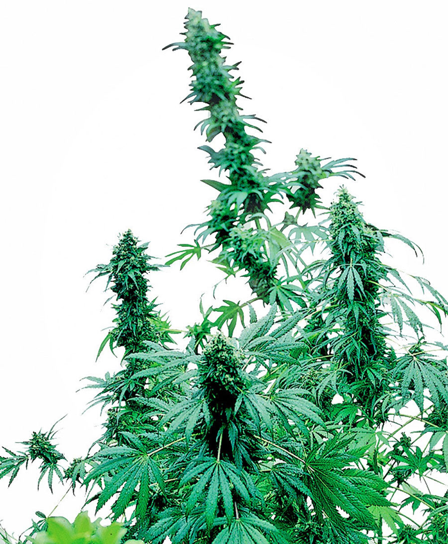 Buy Early Skunk® Feminized seeds - Sensi Seeds UK