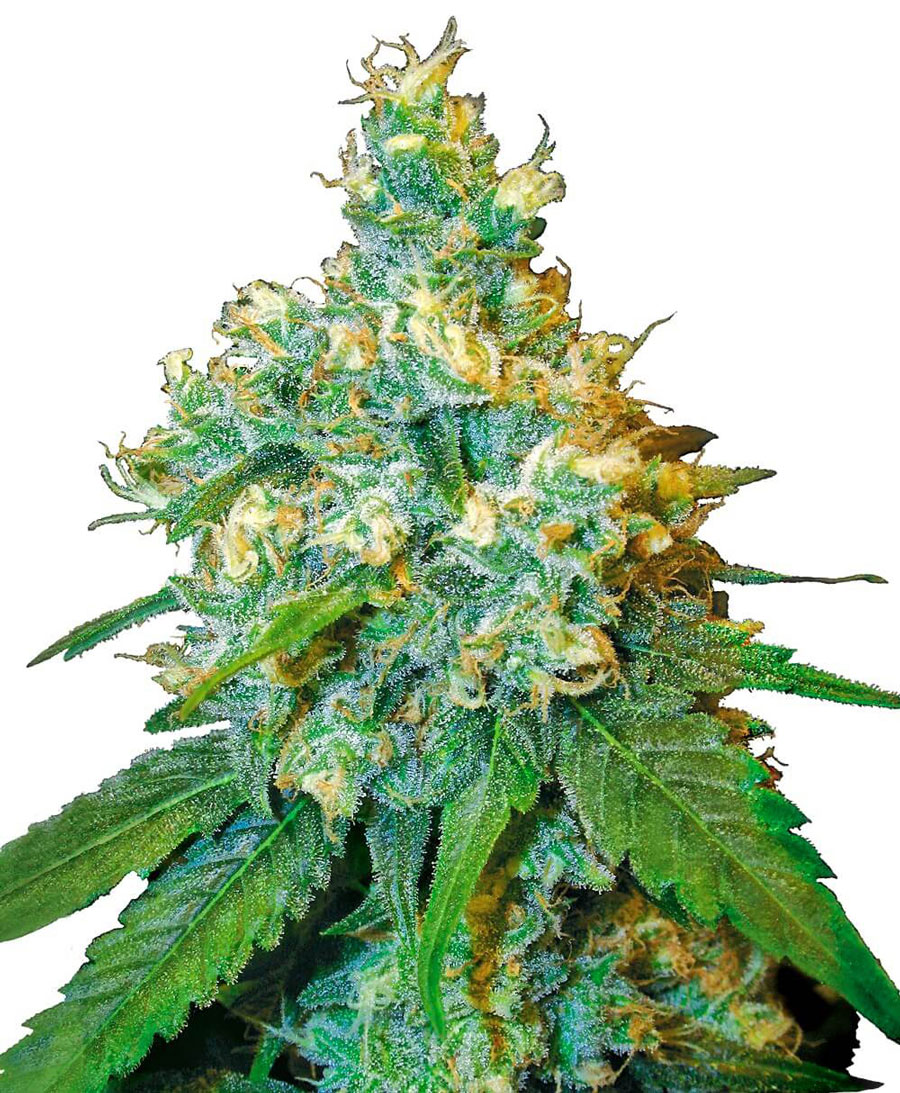 Buy Jack Herer Feminized seeds online – Sensi Seeds UK