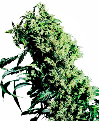 Buy Northern Lights #5 x Haze® Feminized seeds