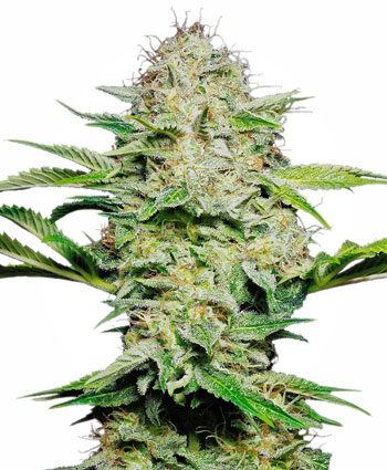 Buy Sensi Skunk Automatic seeds - Sensi Seeds