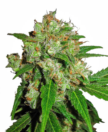 Buy Sensi Skunk� Feminized seeds - Sensi Seeds UK