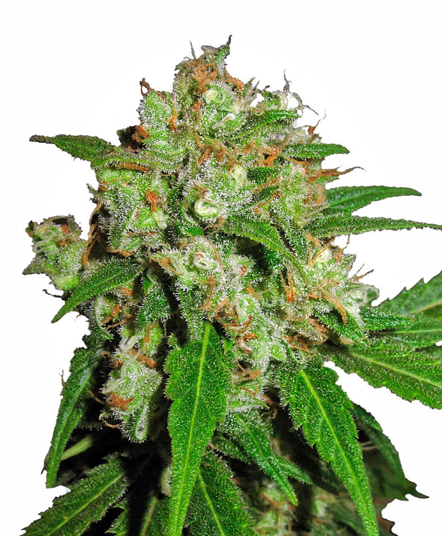 Buy Sensi Skunk Feminized seeds - Sensi Seeds UK