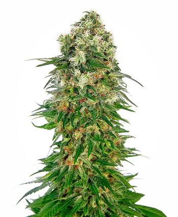 Buy Shiva Skunk Automatic seeds online – Sensi Seeds UK