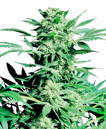 Buy Shiva Skunk® Feminized seeds - Sensi Seeds UK