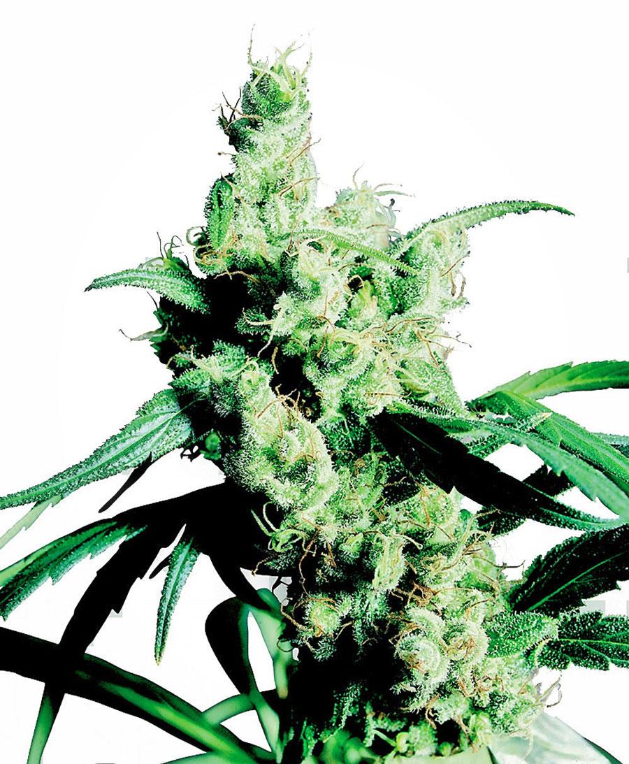 Buy Silver Haze Feminized seeds online
