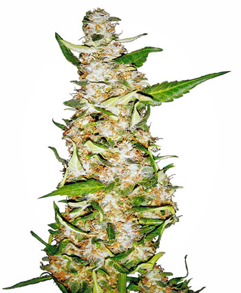 Buy Skunk #1® Automatic seeds online - Sensi Seeds