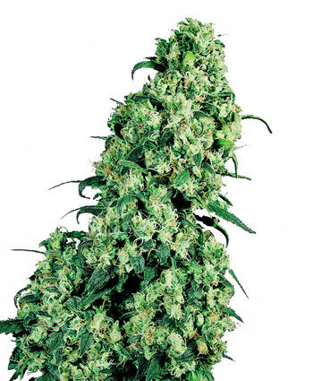 Buy Skunk #1® Feminized seeds - Sensi Seeds UK
