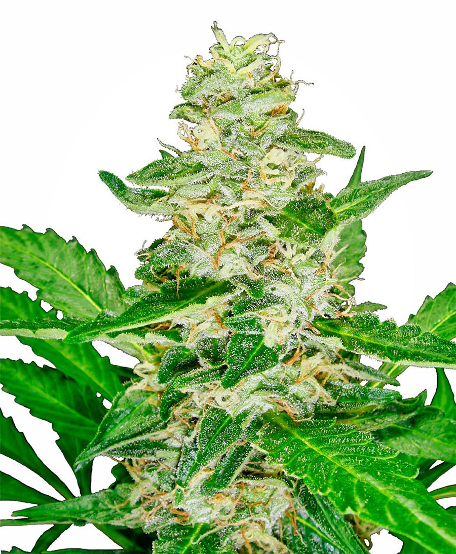 Buy Super Skunk® Automatic seeds - Sensi Seeds