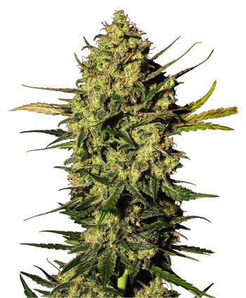 Buy Master Kush Automatic seeds online – Sensi Seeds UK