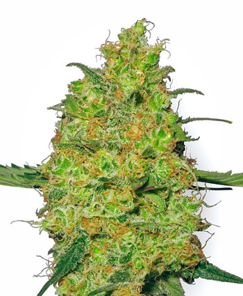 Buy Master Kush Feminized seeds - White Label