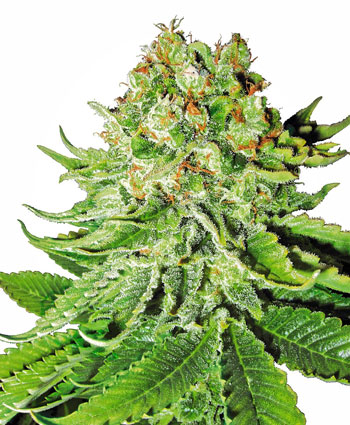 Northern Lights Automatic Seeds - White Label