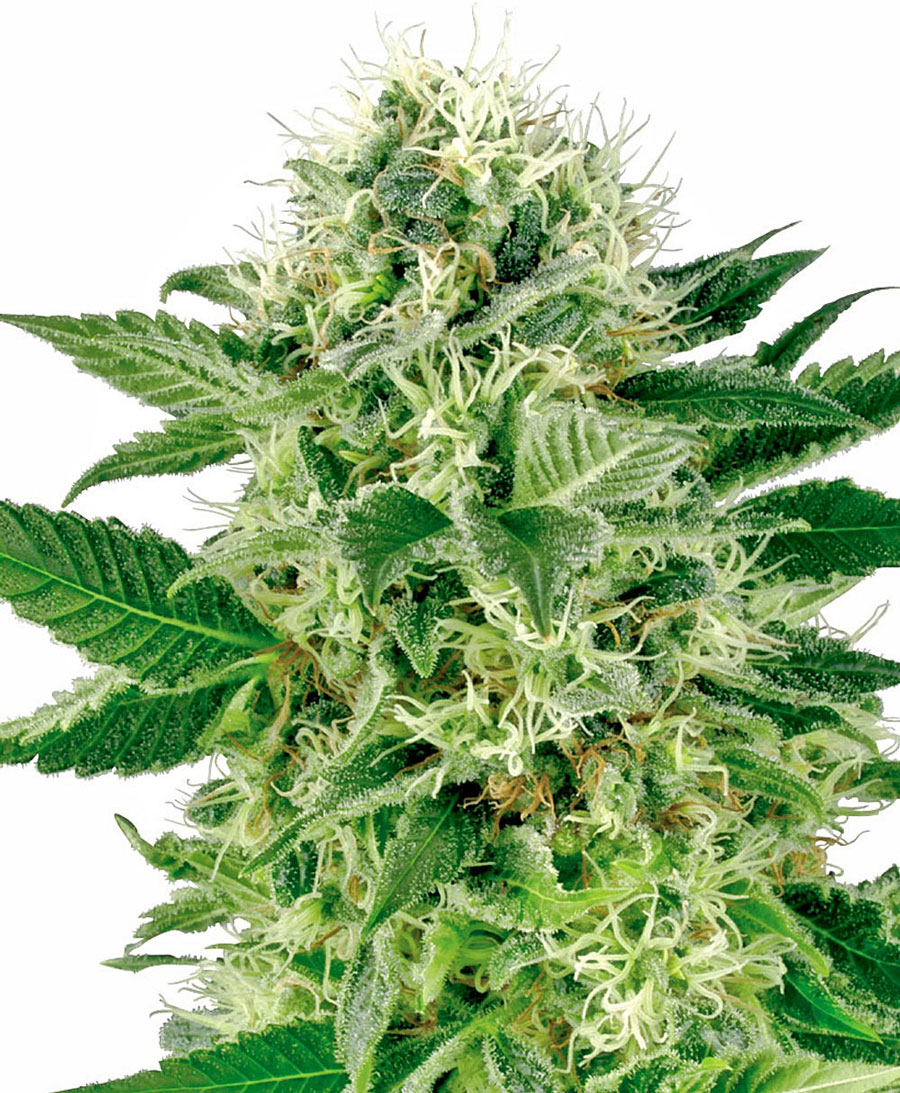 Buy Northern Lights Feminized seeds - White Label