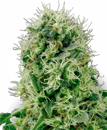 Buy Pure Power Plant Feminized seeds - White Label