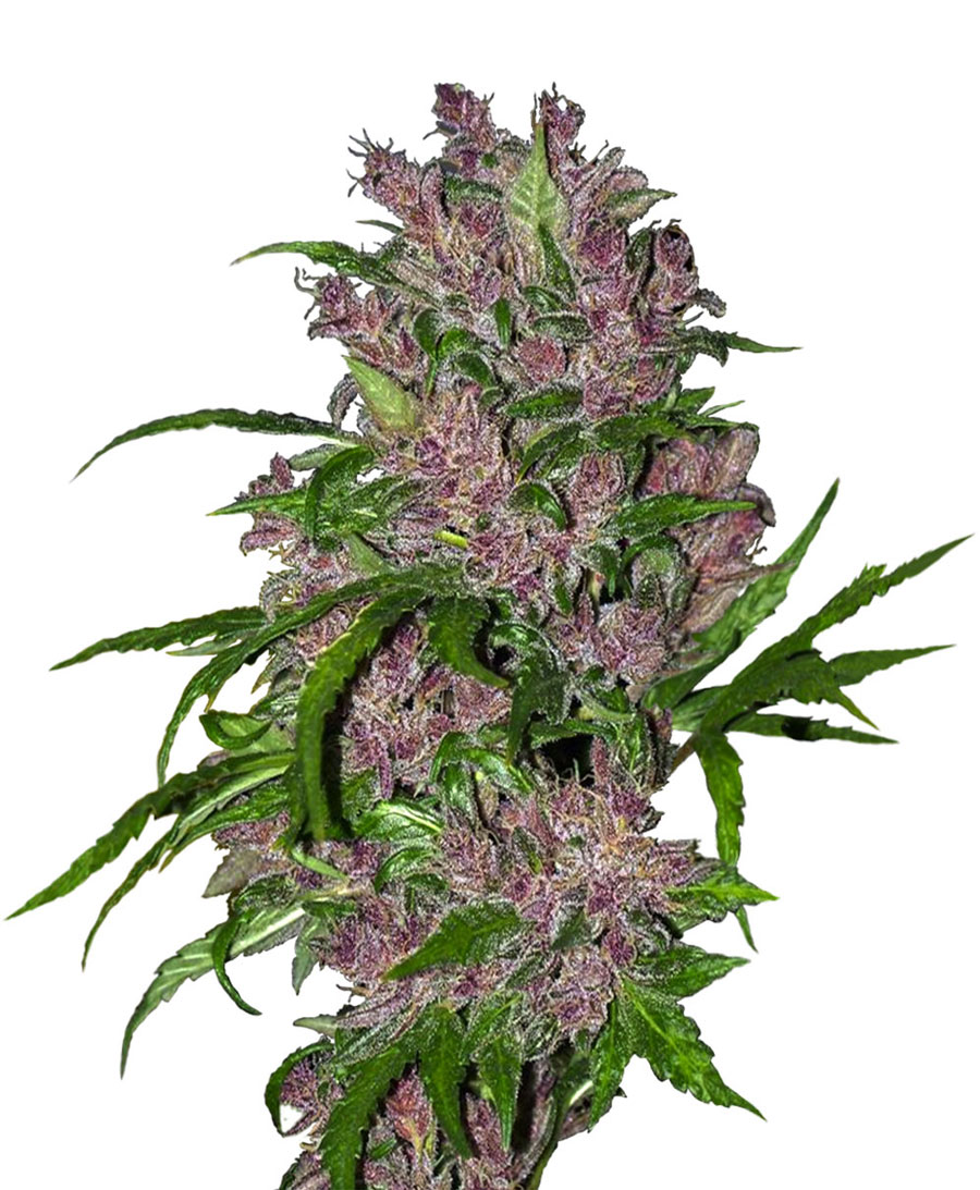 Buy Purple Bud Automatic seeds online – Sensi Seeds UK