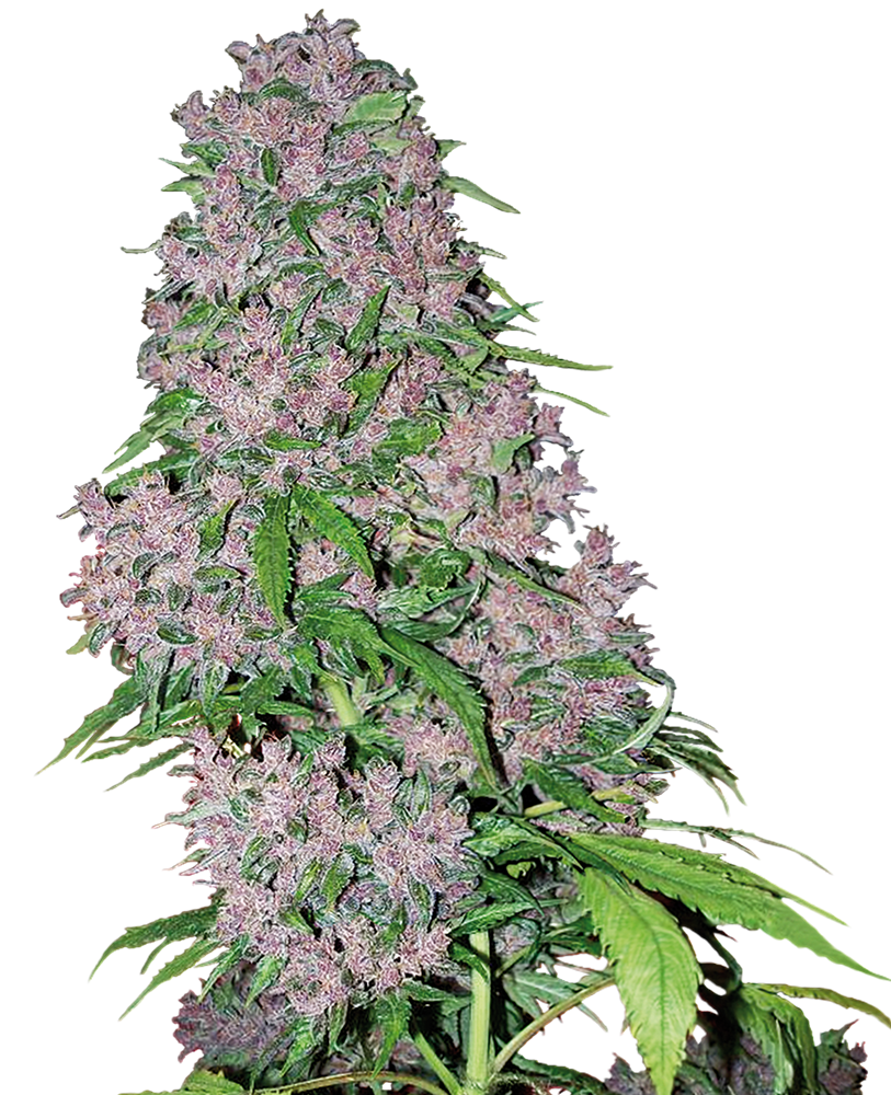Purple Bud Feminized Seeds by White Label