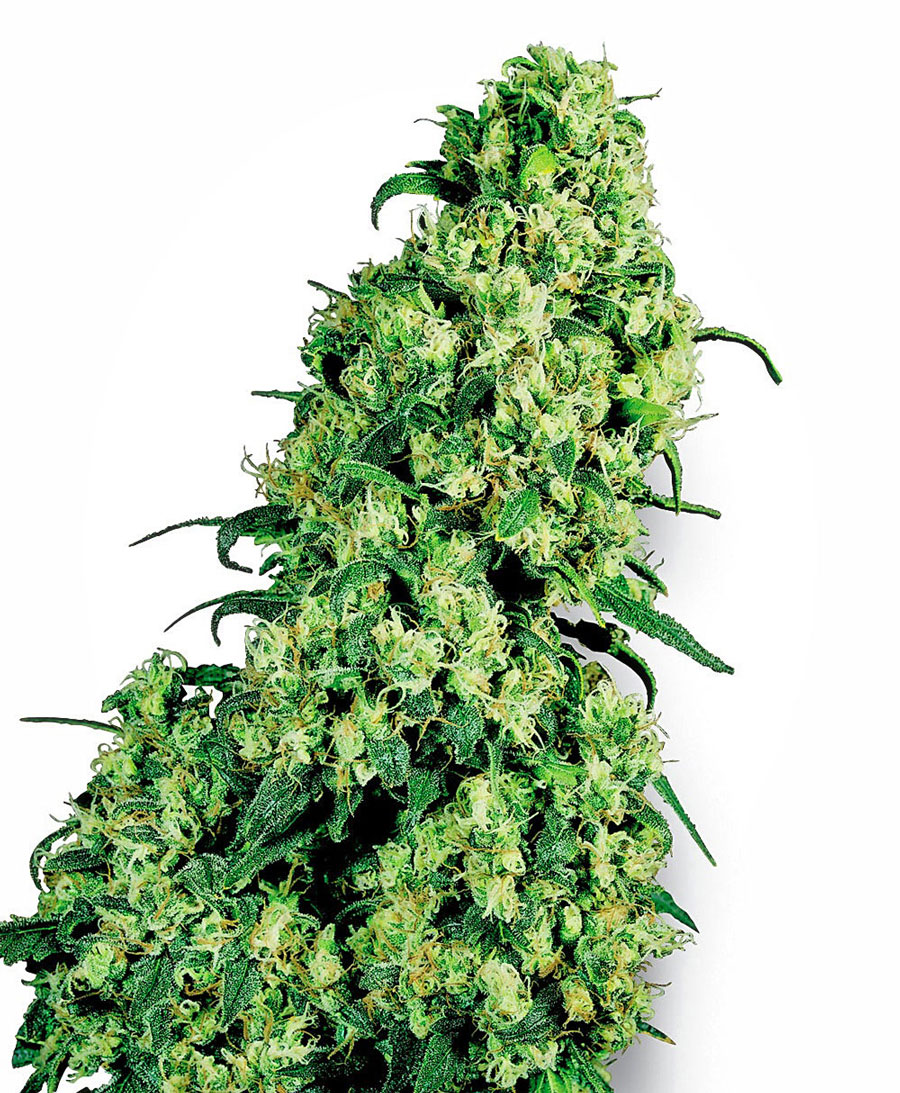 Buy Skunk #1 Feminized seeds online - White Label