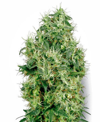 Buy White Gold Feminized seeds online- White Label