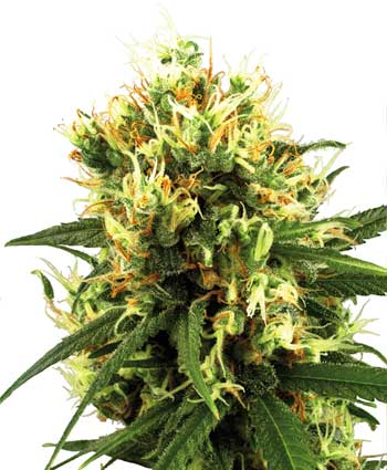 Buy White Haze Automatic seeds online- White Label