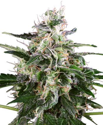 Buy White Skunk Automatic seeds online – Sensi Seeds UK