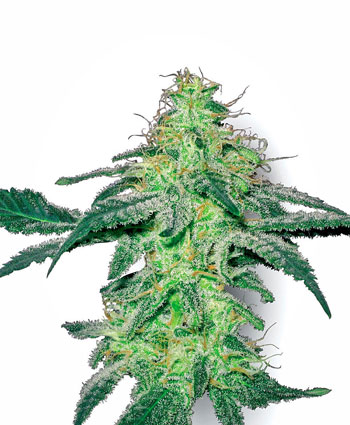 White Skunk Feminised Seeds