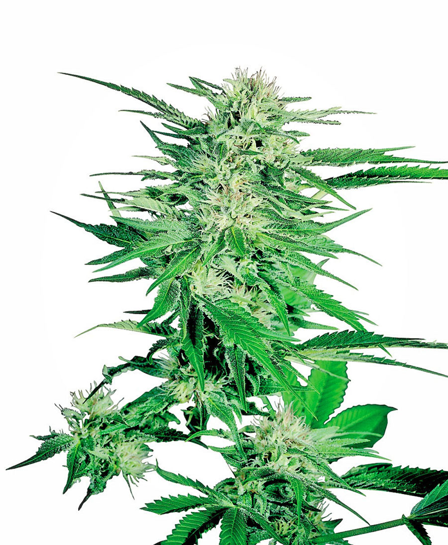 Compra online semillas de Big Bud® - Sensi Seeds