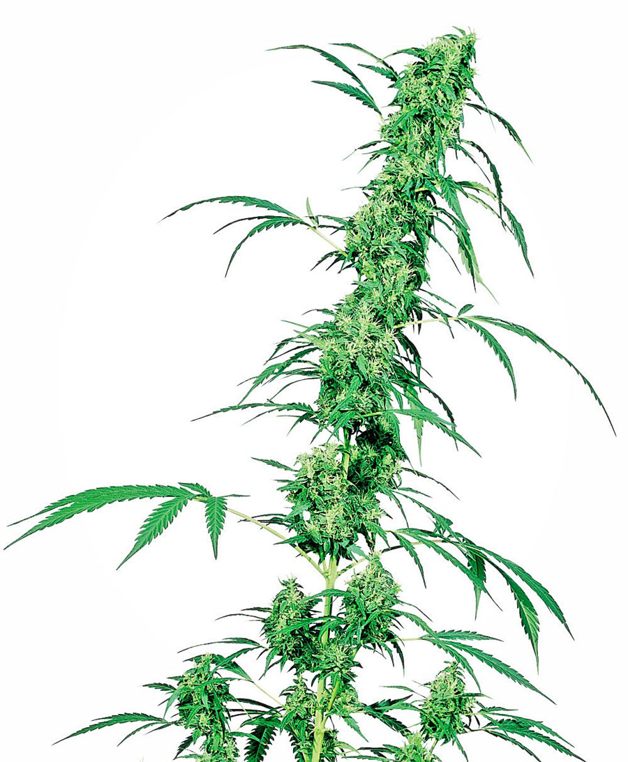 Compra semillas de Fruity Juice® - Sensi Seeds