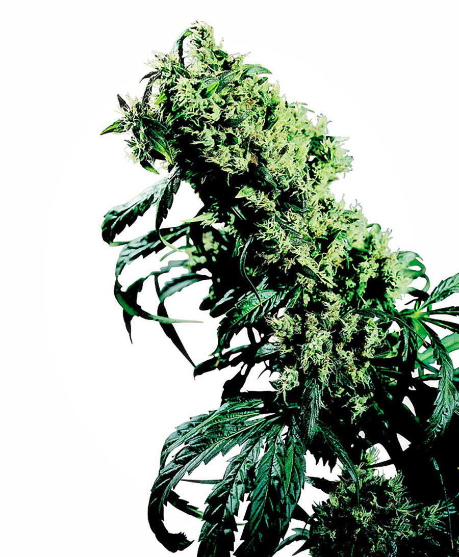 Compra semillas de Northern Lights #5 x Haze®