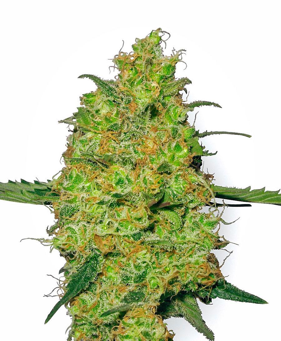 Compra semillas de Master Kush - White Label