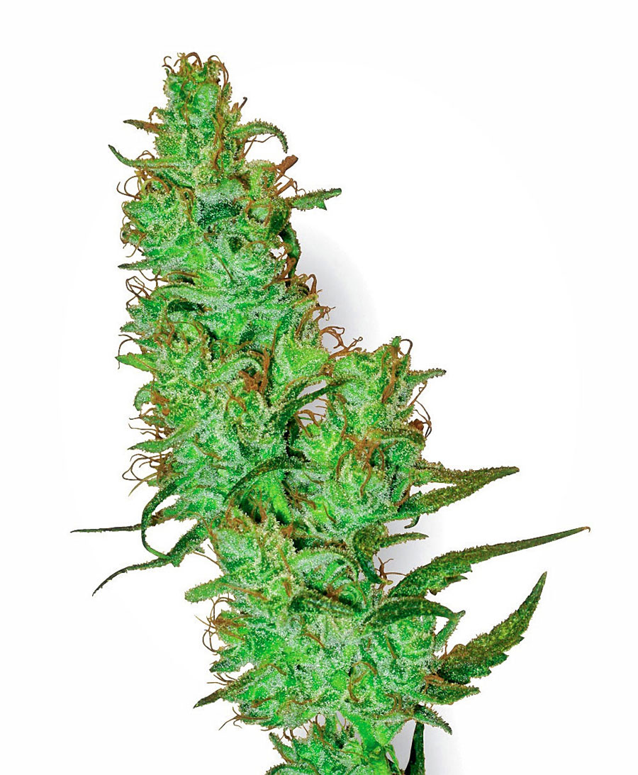 Compra online semillas de Jack Herer - White Label