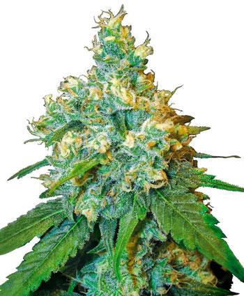 Compra semillas Jack Herer Feminizada online – Sensi Seeds