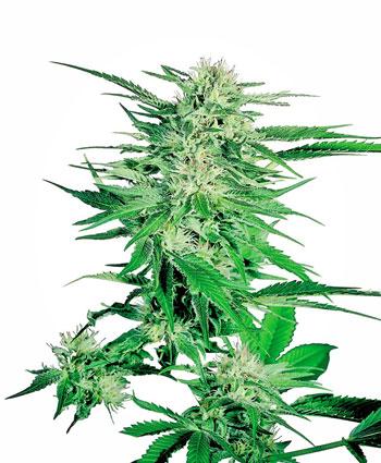 Achetez des graines de Big Bud® - Sensi Seeds