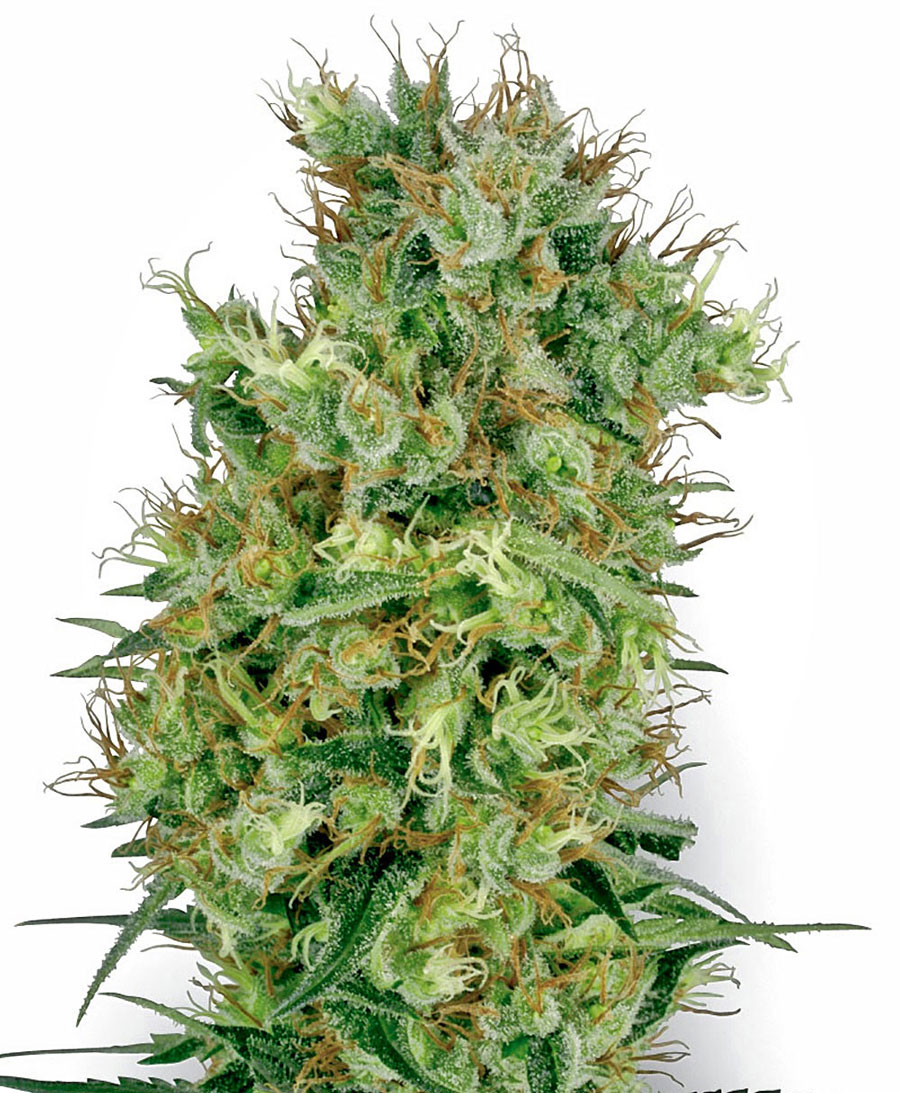 Achetez des graines de cali orange bud white label for Floraison cannabis exterieur