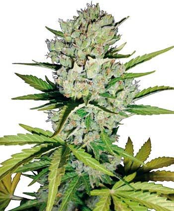 Graines de Super Skunk Automatic - White Label