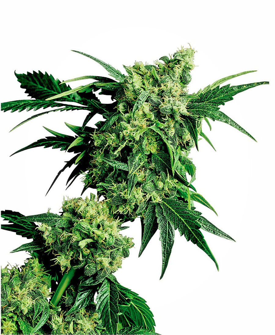 Acquistate i semi Mr Nice G13 x Hash Plant® online