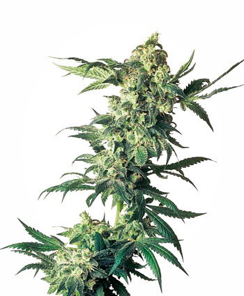 Acquistate i semi Northern Lights® Femminizzati online - Sensi Seeds