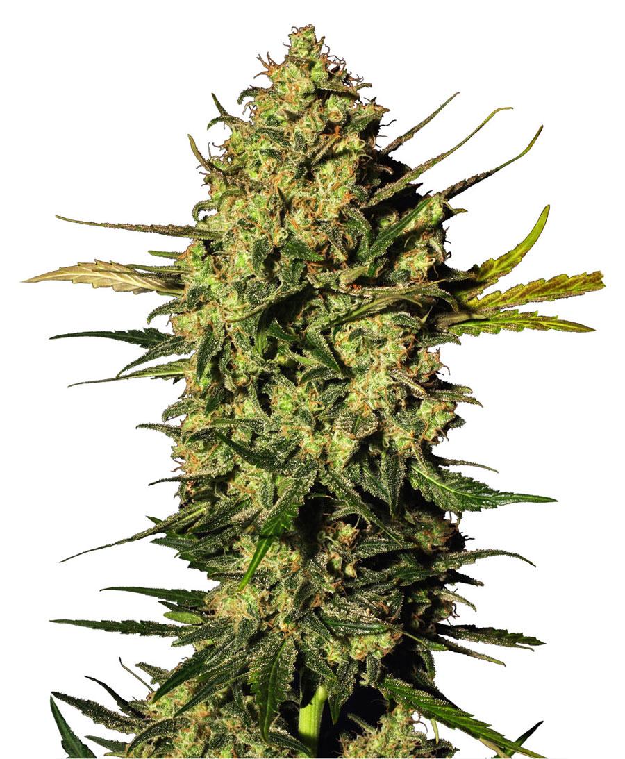 Acquista semi di Master Kush Automatic – Sensi Seeds