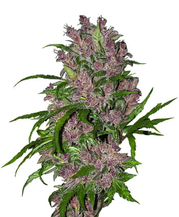 Acquista semi di Purple Bud Automatic – Sensi Seeds