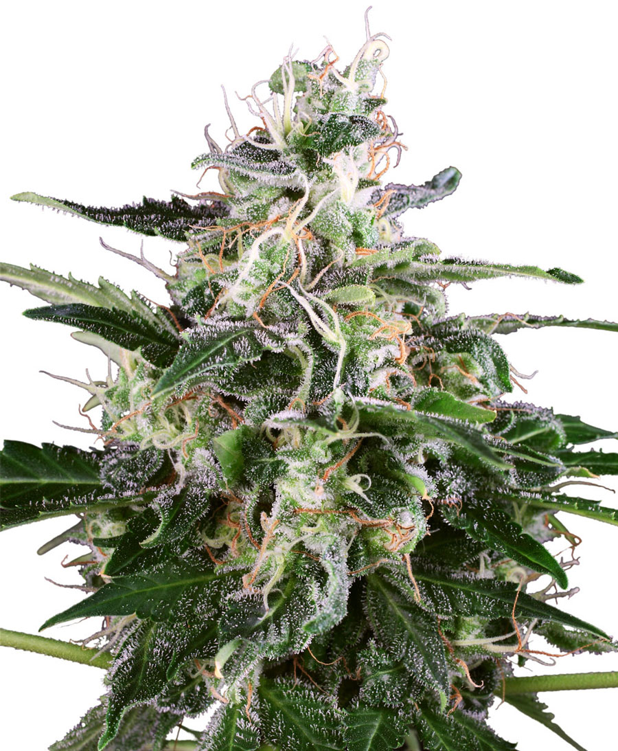 Acquista semi di White Skunk Automatic – Sensi Seeds