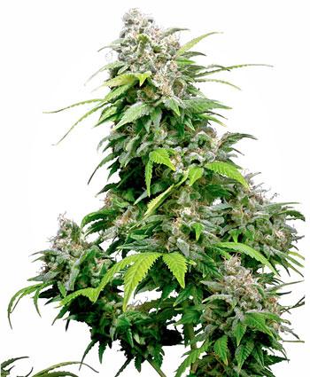 Koop California Indica® zaden online - Sensi Seeds