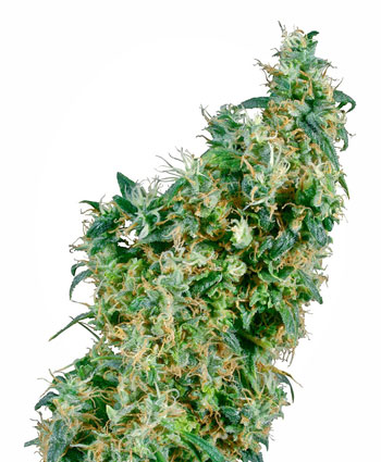 Koop First Lady® zaden online - Sensi Seeds