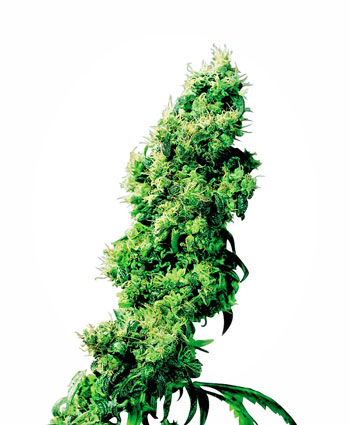 Koop Four Way® zaden online - Sensi Seeds