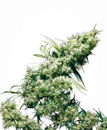 Koop Jamaican Pearl® zaden online - Sensi Seeds