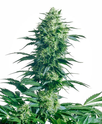 Koop Mother's Finest® zaden online - Sensi Seeds