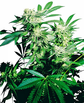 Koop Skunk Kush® Gefeminiseerde zaden - Sensi Seeds