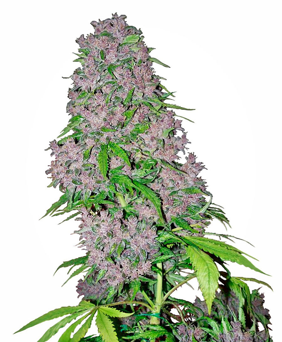 Koop Purple Bud Gefeminiseerde zaden - White Label