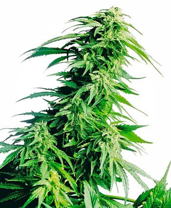 Nasiona Hindu Kush Feminizowane — Sensi Seeds