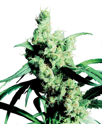 Kup nasiona feminizowane Silver Haze #9®
