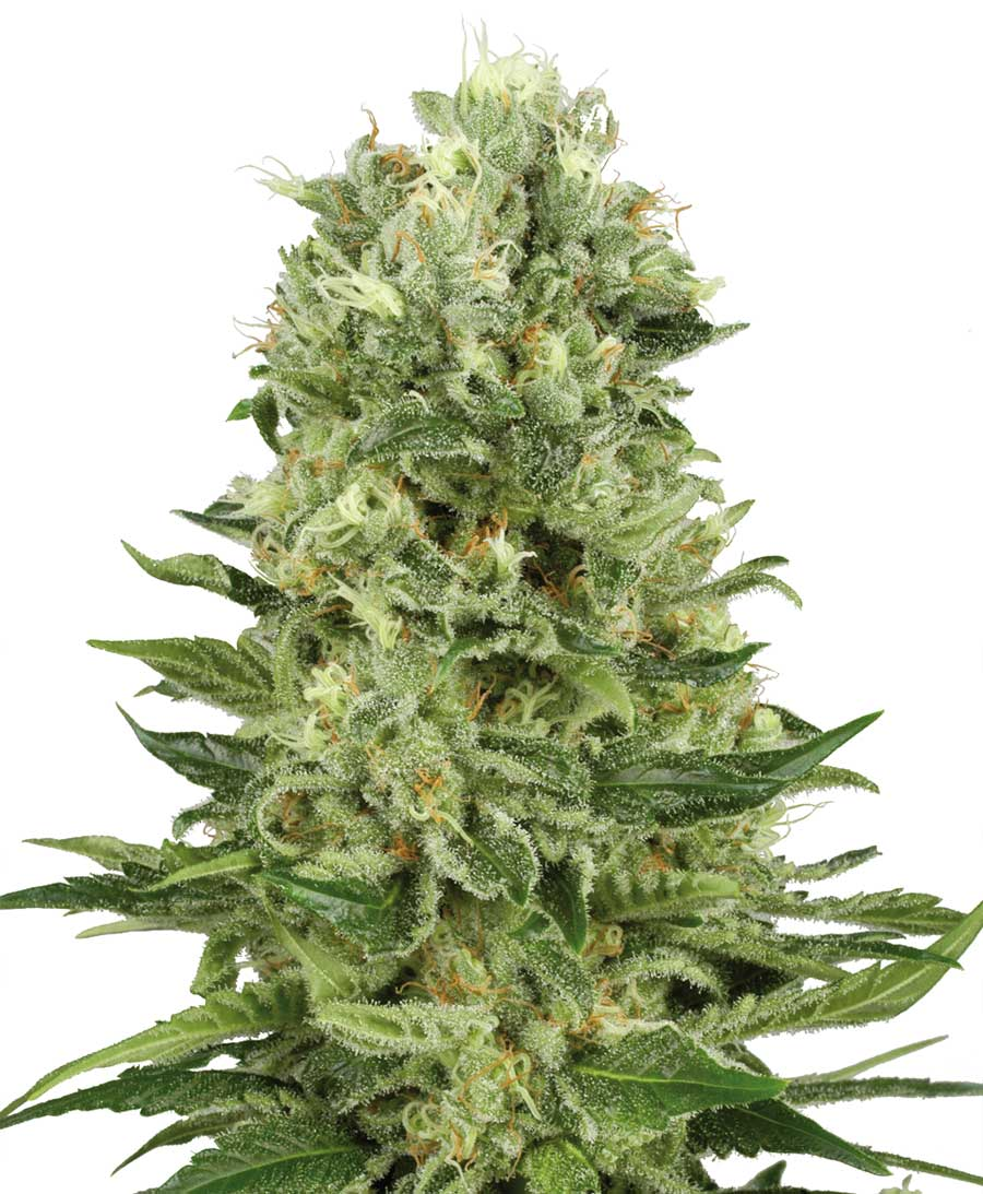 Kup nasiona Skunk #1 Automatic — White Label